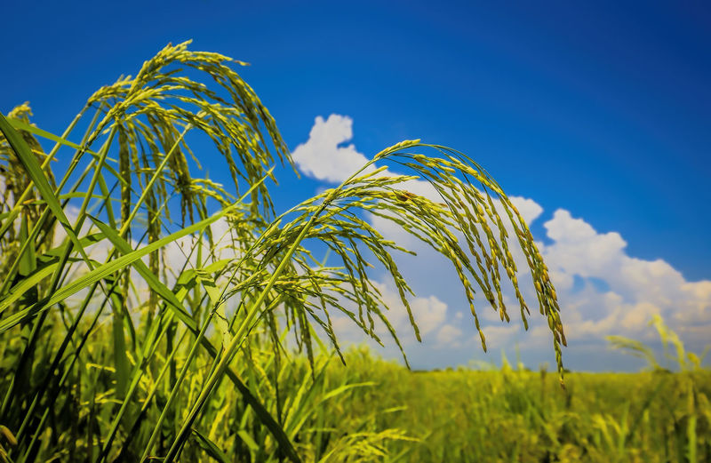 Close-up of crops growing on field against blue sky