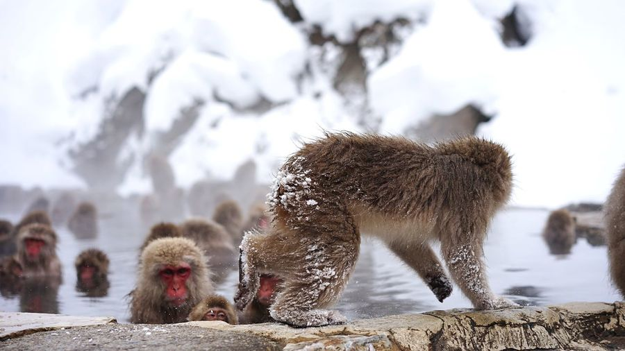 Cold Temperature Winter Snow Mammal Weather Animal Themes Focus On Foreground Nature Outdoors No People Animals In The Wild Domestic Animals Day Beauty In Nature Japanese Macaque Snowmonkeys Hot Spring Geology Travel Destinations Relaxation Ski Holiday Shigakogen  Christmas Time Monkeys Snow Mountain