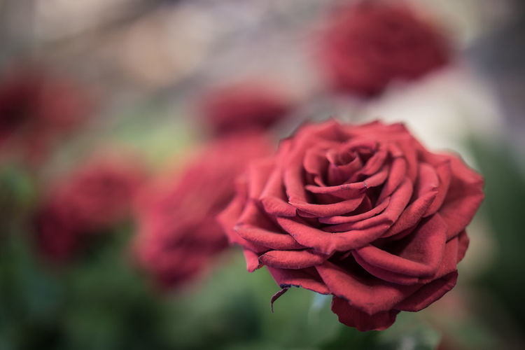 Flower Flowering Plant Rosé Beauty In Nature Plant Rose - Flower Close-up Vulnerability  Fragility Freshness Petal Red Nature Inflorescence Flower Head No People Focus On Foreground Outdoors Growth Selective Focus Soft Focus Softness Bouquet