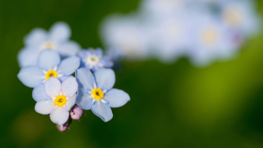 Wood Forget-me-not - Myosotis sylvatica Beauty In Nature Blossom Close-up Day Flower Flower Head Flowering Plant Focus On Foreground Forget Me Not Fragility Freshness Growth Inflorescence Myosotis Sylvatica Nature No People Outdoors Petal Plant Pollen Purple Selective Focus Small Springtime Vulnerability
