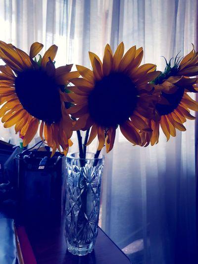 Sunflower sun