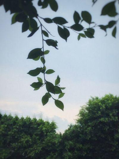 十天后又是好汉一条! Leaf
