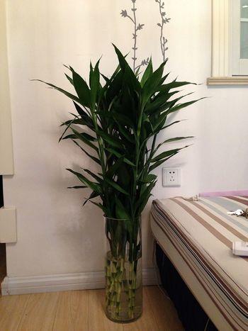 刚刚买的富贵竹!