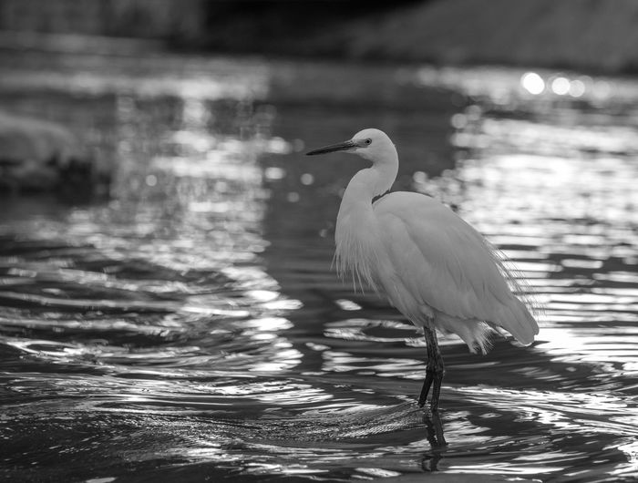 Animal Themes Animal Wildlife Animals In The Wild Beauty In Nature Bird Black And White Close-up Day Focus On Foreground Great Egret Haren Lake Nature No People One Animal Outdoors Water