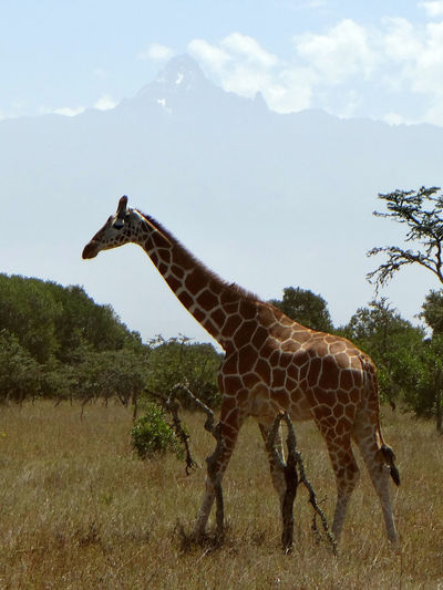 Low Angle View Of Giraffe Standing On Field Against Cloudy Sky