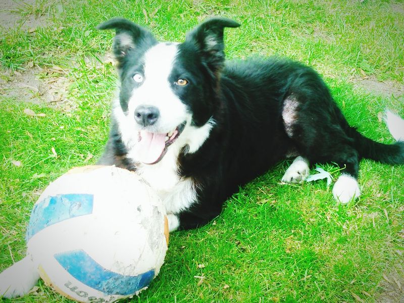 Cheese! Relaxing Border Collie