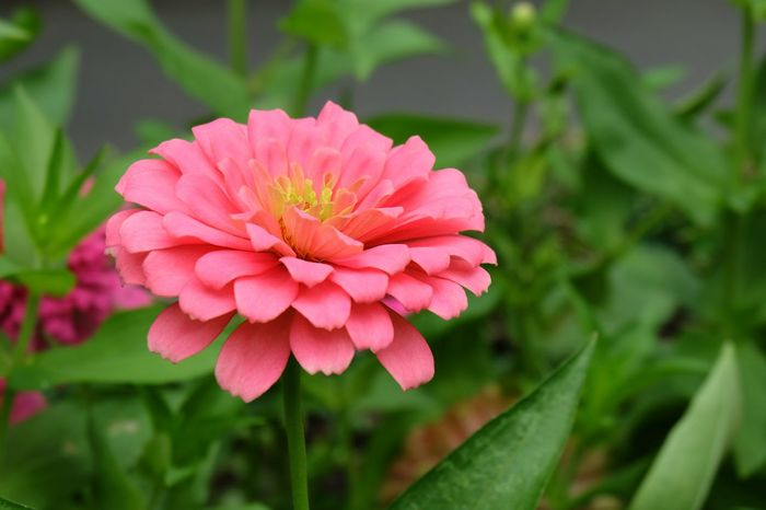 Zinnia Flower. Flower Flower Head Pink Color Close-up Beauty In Nature Fragility Petal Freshness Growth Plant Nature No People Blossom Outdoors Day Zinnia  Zinnias, Flowers Beauty In Nature