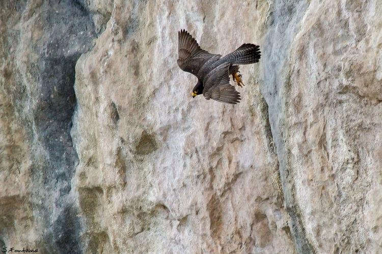 Peregrine Falcon : The plunge... Falcon Monaco Monaco_Principaty Peregrine_Falcon Prince's_Palace_Cliff Raptor Serge_Fontaine The_plunge First Eyeem Photo