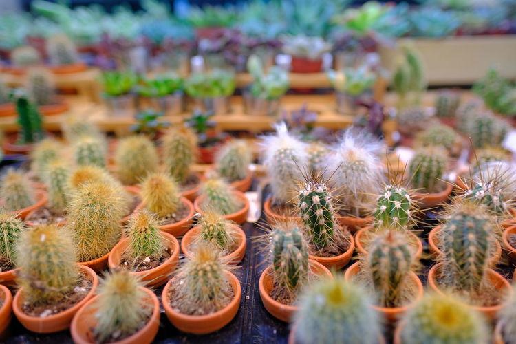 Close-up of cactus flower pot