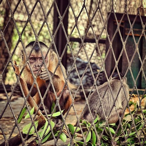 Animal Themes Cage Nature Close-up Animals In The Wild Outdoors Monkey Zoo Zoo Animals  Zoology Looking At Camera Nikon Nikonphotography NIKON D5300 Nikon Photography Animal Body Part Animal Head  Animal Eye Egypt Cairo Close Up Focus