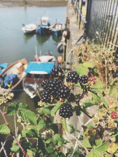 Blackberries on