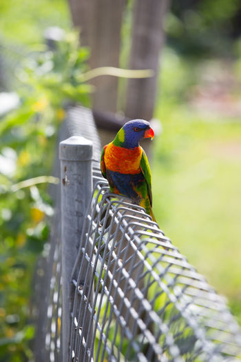 Australia Animal Themes Animal Wildlife Animals In The Wild Beauty In Nature Bird Close-up Day Focus On Foreground Nature No People One Animal Outdoors Perching Rainbow Lorikeet