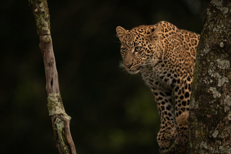 Low angle view of leopard relaxing on branch in forest