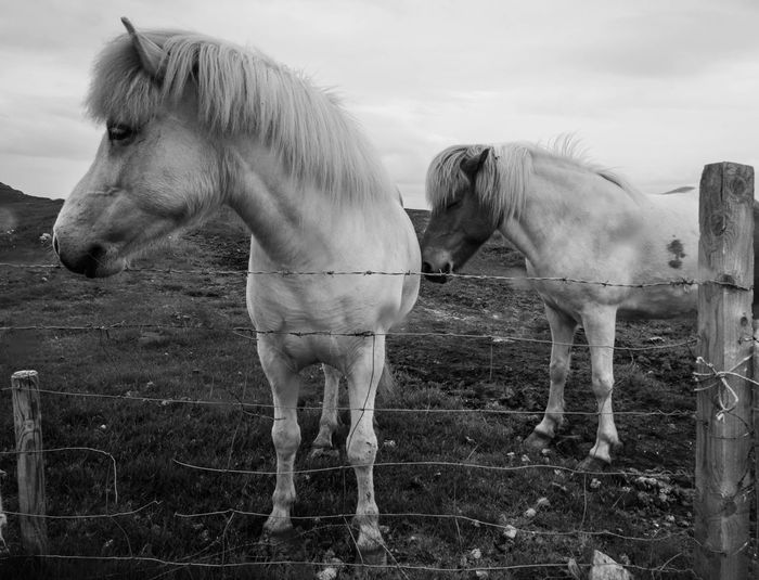 Horses standing by fence on field
