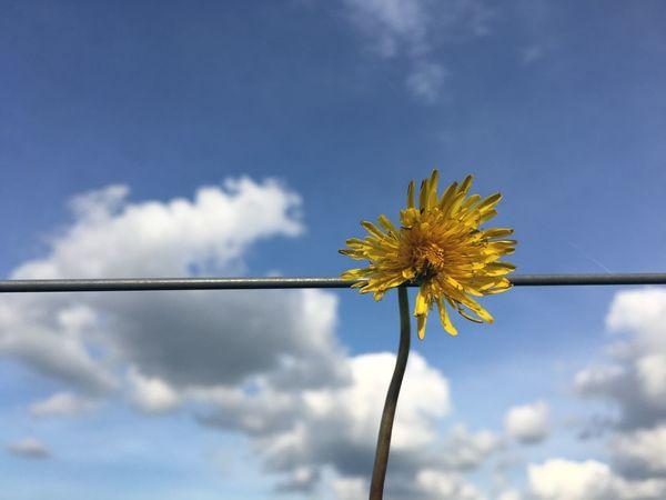 EyeEm Selects Flower Beauty In Nature Nature Freshness Sky No People Cloud - Sky EyeEmNewInHere dandelion Breathing Space iPhone