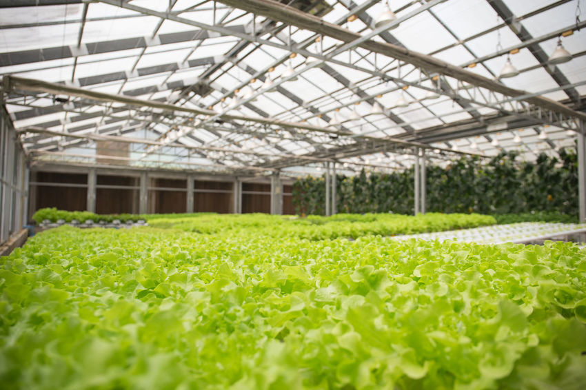 Vegetables Food And Drink Gardening Green Vegetables & Fruits Greenhouse Hydroponic Vegetables Indoors  Organic Organic Gardening Salad Vegetable Vegetables