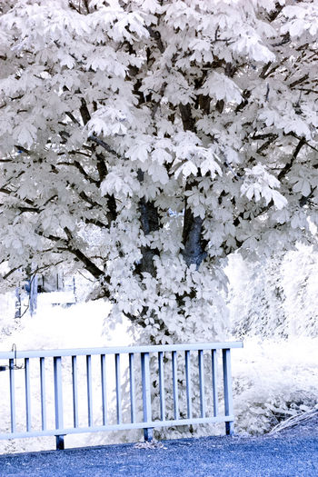 Snow covered plants and fence