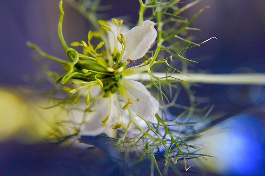 Kunst Ist Was Du Daraus Machst EyeEm Nature Lover Schwarzkümmelblume🌾 Plant Flower Flowering Plant Beauty In Nature Growth Close-up Nature Focus On Foreground Outdoors Selective Focus Vulnerability  Freshness Flower Head No People White Color Fragility Day Petal Inflorescence Plant Part