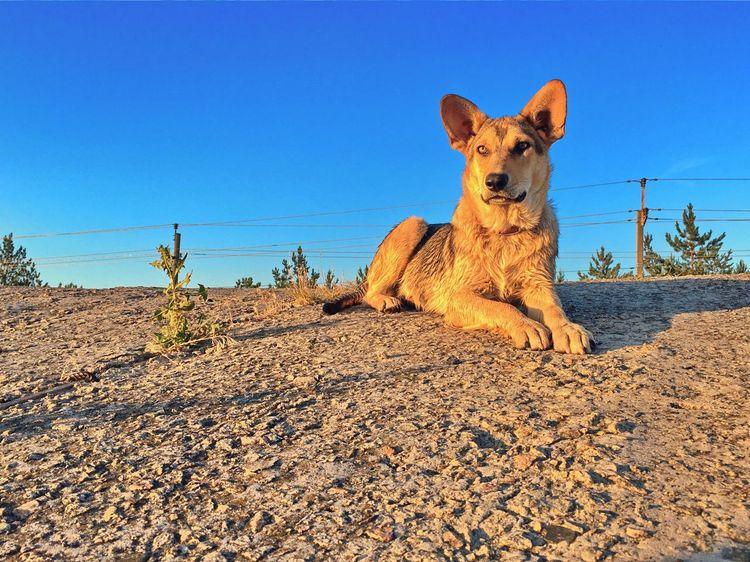Dogs Of EyeEm Dog❤ Dog Sky Mammal Clear Sky Animal One Animal Animal Themes Land No People Day Domestic Animals Sunlight Pets Portrait