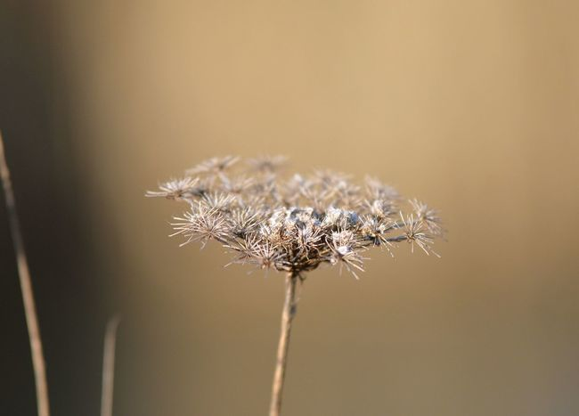 Dandelion Seed Nature Nature Photography Plant Beauty In Nature Botanical Botanicalphotography Close-up Day Detail Flower Flower Head Focus On Foreground Forest Fragility Freshness Growth Meadow Nature No People Outdoors Plant Thistle Wilted Plant