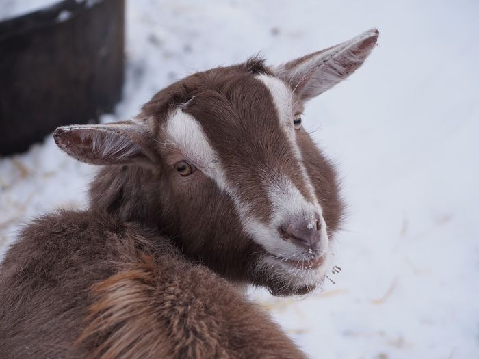 Close-Up Portrait Of Goat On Snow Field