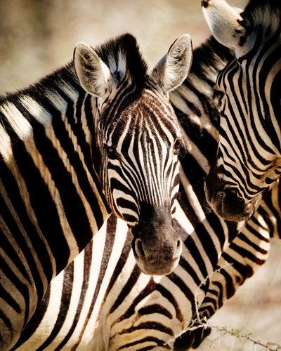 Close-up portrait of zebras
