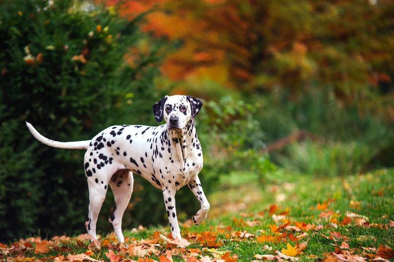 Dalmatian Walking On Grassy Field At Yard During Autumn