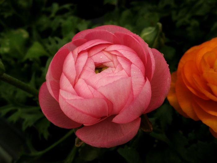 Leaves And Flowers Ranunculus Spring Flowers Blooms Beauty In Nature Flower Freshness Growth Nature Petal Plant Close-up No People Pink Pink Flower Cellphy