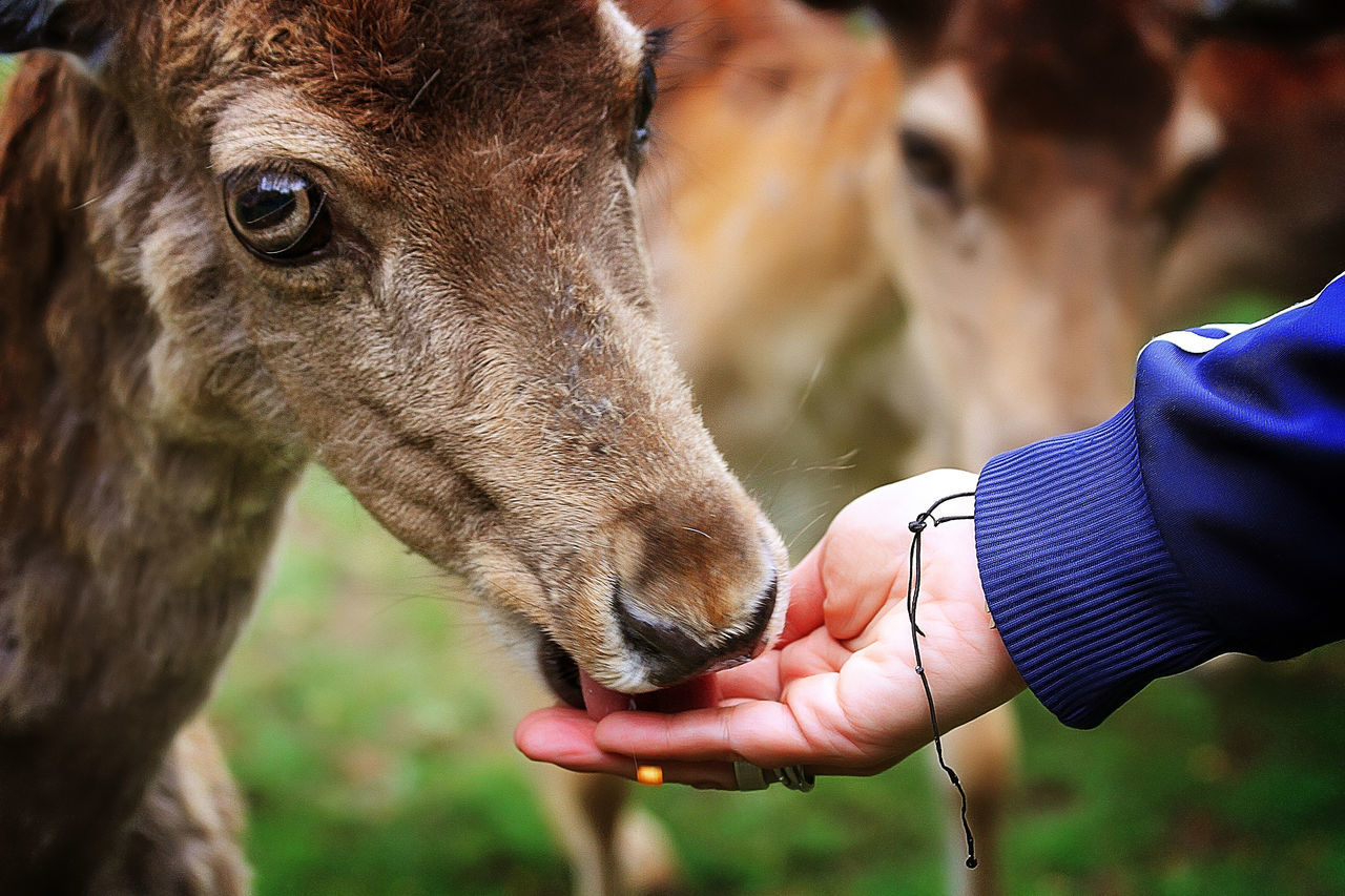 Close-Up Of Hand Feeding Deer