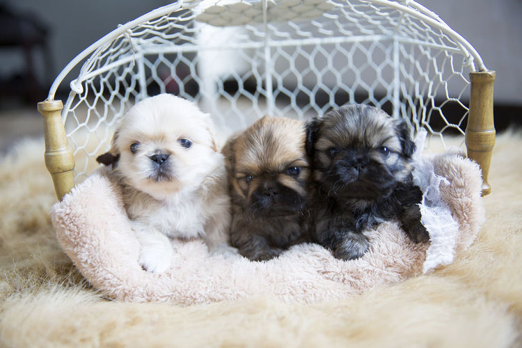 Three Puppies In Basket