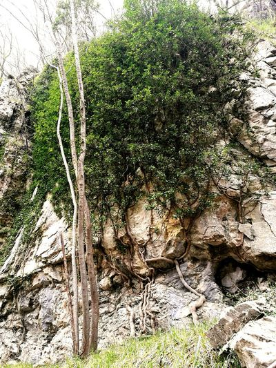 Tree Growth Nature No People Green Color Backgrounds Outdoors Beauty In Nature Mountain Nature Tree Plant Tree Trunk Stone Wall
