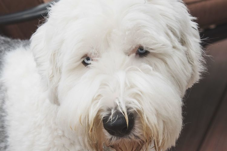 Yellow bearded Sheepdog Dog Canine Pets One Animal Domestic Domestic Animals Mammal White Color Looking At Camera Portrait Close-up Vertebrate Animal Body Part No People Front View Animal Eye Snout Animal Nose