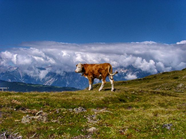 The cow in the sky // Die Kuh im Himmel Österreich Pitztal Taking Photos Travel Photography Mountains Mountain View Animals