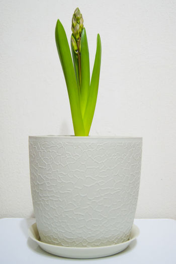 Close-up of potted plant in vase against white background