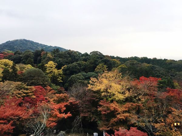 Tree Nature Growth Beauty In Nature Scenics Outdoors Mountain No People Landscape Plant Day Tranquility Sky Autumn Fall Beauty Fall Leaves Turning Leaves Kyoto, Japan Japan Kyoto Copy Space Trees Trees And Sky Trees And Nature EyeEm New Here