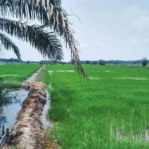 I always wonder what if I took the other path in life. Will things turn out differently? Things to Ponder Nature Paddyfield perak sawahpadi green village kampunglife travel