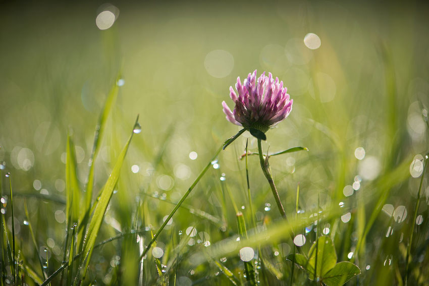 Summer meadow with cloverand dew drops. Flower field on sunny day. Art Bestsellers Clover Dew Drops EyeEm Gallery EyeEmNewHere Fields Fields Of Gold Frefoil GREEN LIFE Nature Nature_collection Nature_perfection Rain Drops Spring Meadow Summer Meadows  Sunlight Wildflowers Wildlife & Nature