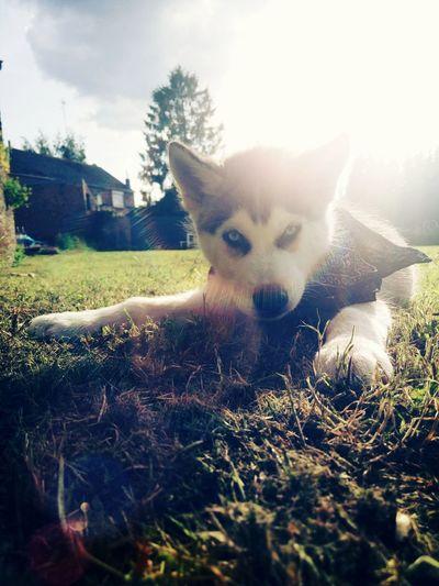 Relaxing Siberian Husky Husky Puppy Husky Eyeblue Thug Life