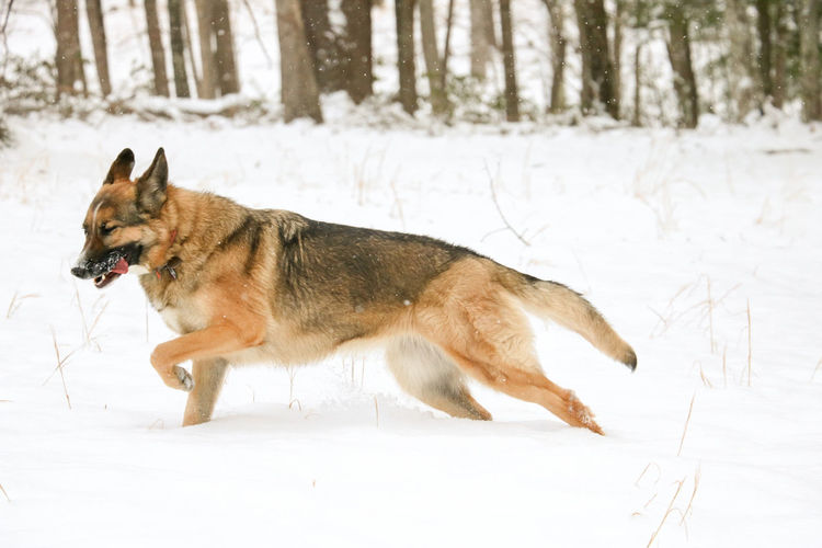 Grace Outdoor Photography Outdoors Dog Running Dog Play Dogs Playing In The Snow Dog Pack Dog Photography Canine Photography Snow, Ice, Tree, Winter, Freezing Dogs Life Doggie Daycare Dogs Canine Canine Companion Petsitting Dog Socialization Dog Boarding Pets Snow Cold Temperature Winter Dog Forest German Shepherd Full Length Purebred Dog Snowing Carnivora