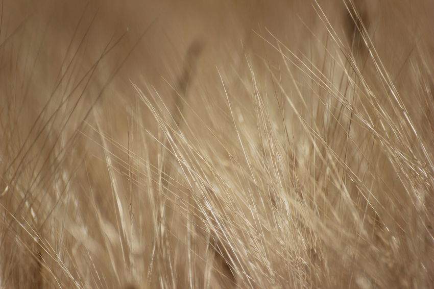 Cereal Plant Wheat Backgrounds Full Frame Pattern Close-up Plant
