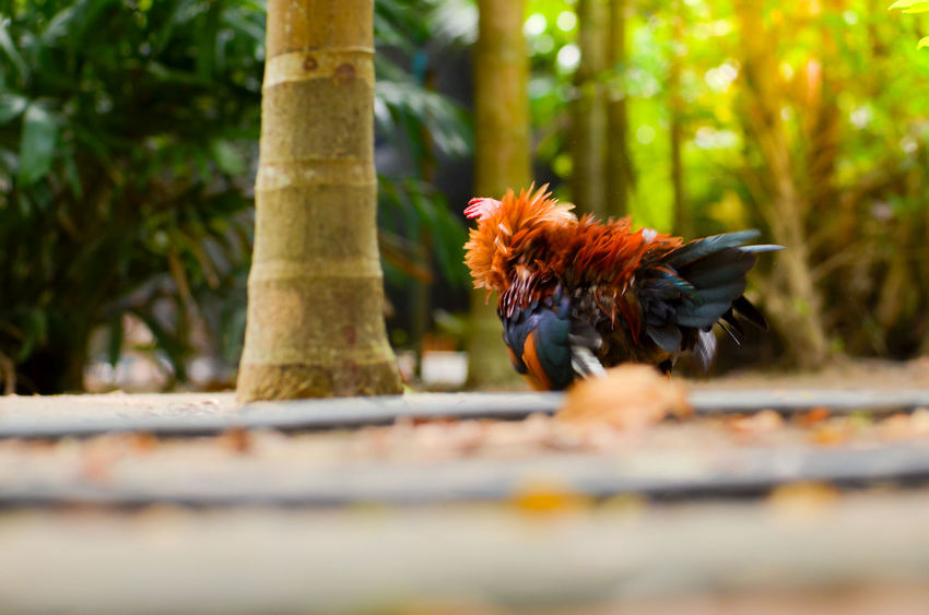 colorful bantam chicken in morning Chicken Farm Natural Animal Themes Bantam Beauty In Nature Bird Birds Close-up Colorful Day Domestic Animals Egg Nature No People One Animal Outdoors Pet Rooster Roosters
