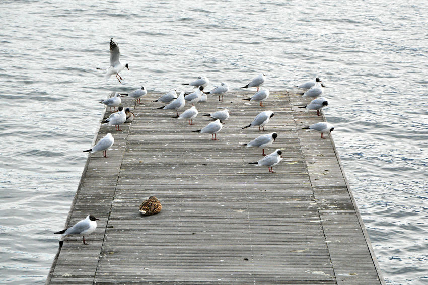 Seagulls, cold morning - Gravedona, Como, Italy. Animal Behavior Animal Themes Animals In The Wild Beauty In Nature Bird Como Day Flock Of Birds Gravedona Italia Italy Lake Lario Lombardy Nature No People Seagull Togetherness Tranquility Water Water Bird Wildlife Zoology