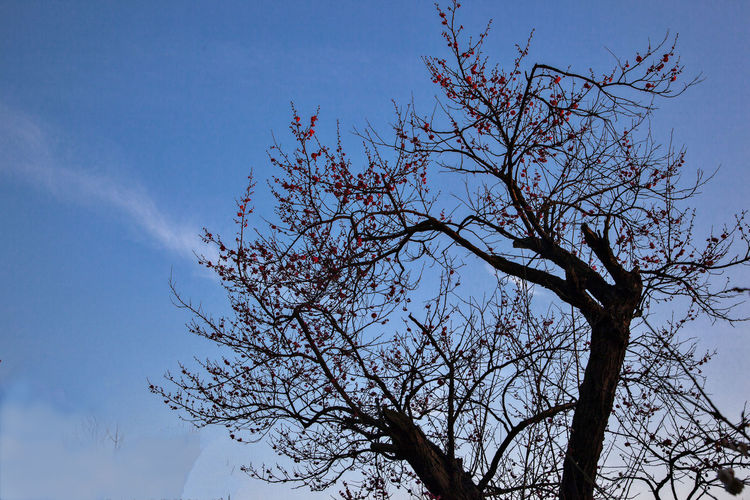 Plum blossom Views Plum Blossom Views Plum Blossom Branches Plum Blossoms And Sky Plum Blossoms Plum Blossom Blue Sky Clear Sky Plum Blossom Tree Beauty In Nature Beautiful Nature Flowers Springtime Growth Flowering Plant