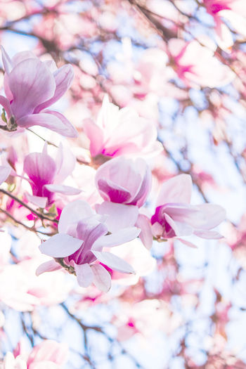 Magnolia flower Magnolia Tree Magnolia Flower White Background Light Vibrant Color Pinkish Flowers,Plants & Garden Flowering Plant Pink Color Flower Freshness Beauty In Nature Blossom Petal Tree Fragility Vulnerability  Springtime No People Magnolia Spring Inflorescence Branch Plant Outdoors