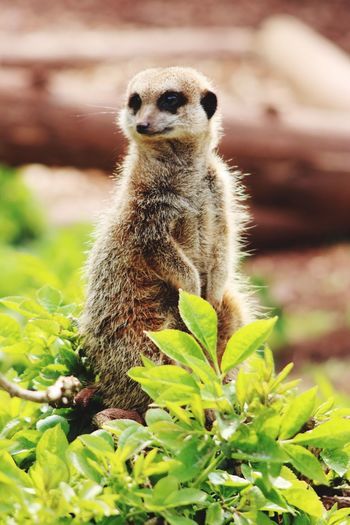 One Animal Animals In The Wild Animal Themes Day Mammal Animal Wildlife Meerkat Nature Outdoors Focus On Foreground No People Plant Close-up Standing Watching Keeping Watch Zoophotography Zoo Upclose  South Lake Zoo