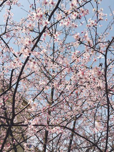 学校的🌹开的很美。 Flowers :) Shcool