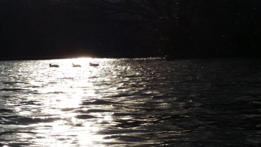 Koots On Lake Koots Small Birds Nature Photography Nature On Your Doorstep Boggart Hole Clough Manchester Moston Bird Photography Birds Bird Bird On Lake Birds On Lake Water Sun Reflection On Water Sun Reflection Sunset