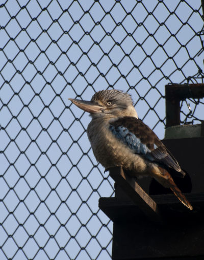 Animal Themes Vertebrate Animal One Animal Bird Animal Wildlife Animals In The Wild Fence No People Boundary Day Perching Barrier Metal Focus On Foreground Chainlink Fence Low Angle View Nature Outdoors Close-up