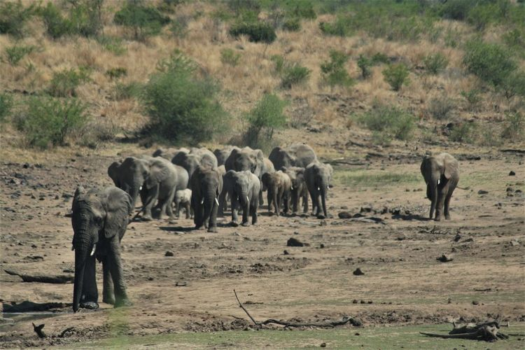 Pilansberg National Park Herd Of Elephants Elephants Water Safari Adventure Nature Wildlife Wildlife Photography