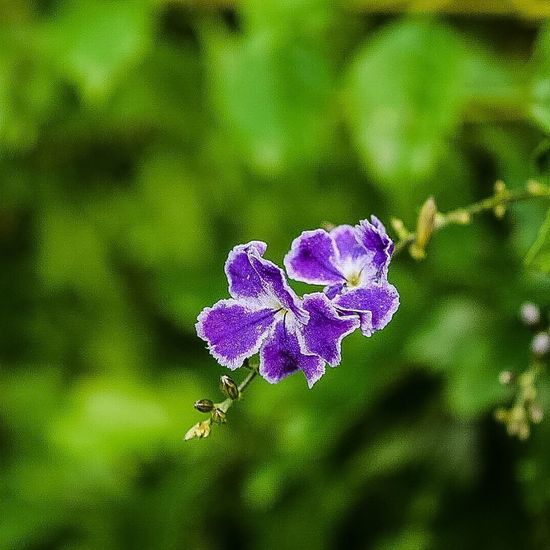 Nikonphotography Nikon Nikond5300 Flowers Duranta Flower Collection Flower Macro_collection Hdr_Collection DSLR Dslrphotography DSLR Photography